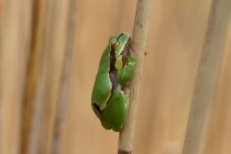01148-European Tree Frog