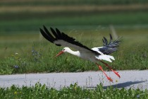 01151-White Stork