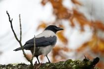01152-Hooded Crow