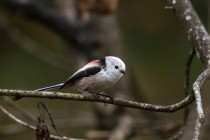 01153-Long-tailed Tit