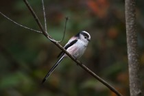 01154-Long-tailed Tit