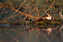 01155-Great Crested Grebes