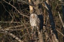 01165-Ural Owl