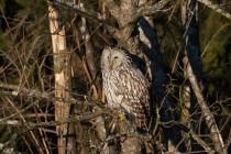 01166-Ural Owl