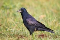 01176-poljska vrana